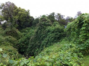 Before: Kudzu infestation. Boundary Creek, Penrith (2010)