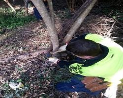 Chiseling Privit Stump