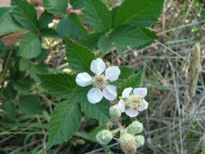 Blackberry-flower-web-BV