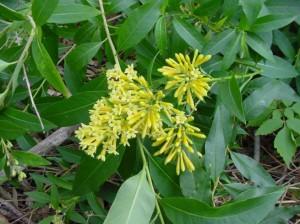 Green-Cestrum-flower-and-leaf-formation