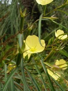 Ludwigia-longifolia-flowers