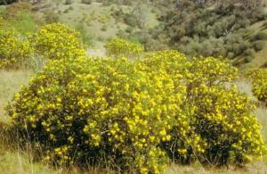 boneseed1-plants