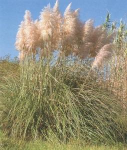 pink-pampas-grass