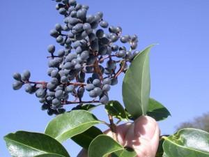 privet-broadleaf-berries-JH