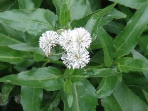 senegal-tea-flower-web