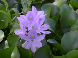 water-hyacinth-flower-ps