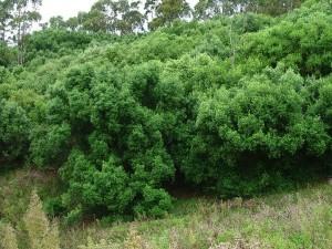 Afican olive