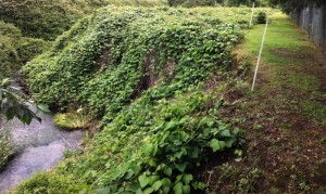 Kudzu infestation at Boundary Creek, Penrith